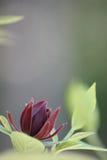Arbusto dulce Imagenes de archivo