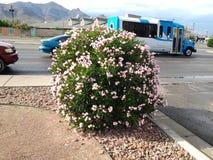Arbusto duro del rosa del tiempo Imagen de archivo