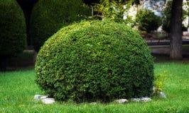 Arbusto esférico Fotos de archivo libres de regalías