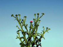 Arbusto espinoso Fotos de archivo