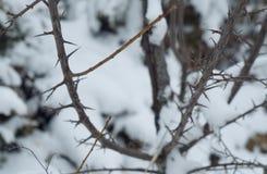 Arbusto espinoso en nieve Imagen de archivo libre de regalías