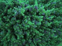 Arbusto floreciente con las flores azules brillantes, fondo de la naturaleza Foto de archivo libre de regalías