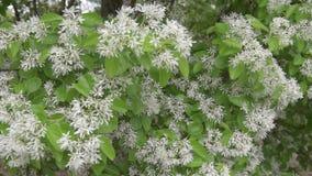 Arbusto floreciente con las hojas del verde y el flor blanco Jasminoides del Trachelospermum, jazmín confederado, jazmín de estre almacen de video