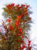 Arbusto floreciente de Grevilla Imagen de archivo libre de regalías