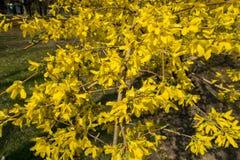 Arbusto floreciente de la forsythia en el parque en primavera Fotografía de archivo