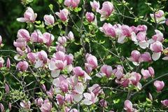 Arbusto floreciente de la magnolia Foto de archivo libre de regalías