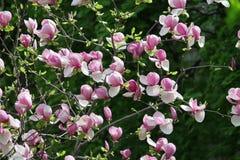 Arbusto floreciente de la magnolia Imagen de archivo libre de regalías
