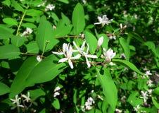 Arbusto floreciente de la primavera Imagen de archivo libre de regalías