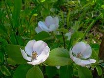 Arbusto floreciente de un membrillo Imágenes de archivo libres de regalías