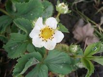 Arbusto floreciente de una fresa Imagenes de archivo