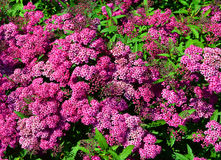 Arbusto floreciente del fondo abstracto de un meadowsweet Imagenes de archivo