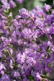 Arbusto floreciente del rododendro en la primavera Imagenes de archivo