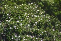 Arbusto floreciente hermoso cerca de la casa Imágenes de archivo libres de regalías