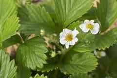 Arbusto floreciente hermoso de fresas Foto de archivo libre de regalías