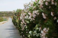 Arbusto floreciente a lo largo del camino Fotografía de archivo