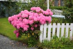 Arbusto floreciente rosado foto de archivo libre de regalías