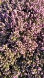 Arbusto floreciente rosado Imagen de archivo libre de regalías
