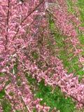Arbusto floreciente rosado con la hierba verde como fondo foto de archivo