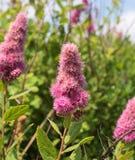 Arbusto floreciente Spirea Douglas Imagenes de archivo