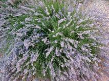 Arbusto flourishing de la lavanda A.C., Canadá Imagen de archivo