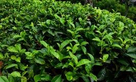 Arbusto fresco verde del árbol del té fotografía de archivo