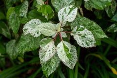 Arbusto frondoso abigarrado ornamental Imagen de archivo libre de regalías