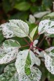 Arbusto frondoso variegated decorativo Foto de Stock