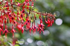 Arbusto fucsia del fiore Immagini Stock