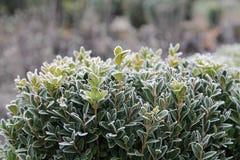 Arbusto geado do buxo Imagem de Stock Royalty Free