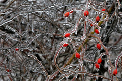Arbusto gelado Foto de Stock