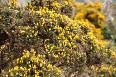 Fiori Gialli Irlanda.Arbusto Giallo Del Ginestrone Trovato In Irlanda Fotografia Stock