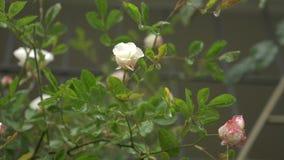 Arbusto grande con el florecimiento de las rosas blanco-rosadas para ajardinar vertical Durante la lluvia 4k, c?mara lenta almacen de metraje de vídeo