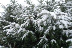 Arbusto grande del tejo cubierto con nieve Foto de archivo