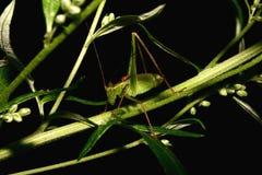 Arbusto-grilo salpicado (punctatissima de Leptophyes) Imagem de Stock