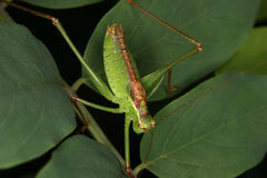 Arbusto-grilo salpicado (punctatissima de Leptophyes) Foto de Stock Royalty Free