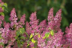 Arbusto hermoso de la lila en spr Foto de archivo libre de regalías