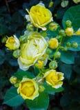Arbusto hermoso de rosas amarillas en un jardín de la primavera Rosaleda imagen de archivo