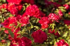 Arbusto hermoso de rosas rojas en un jardín de la primavera Rosas rojas Jardín floreciente Primavera Verano fotos de archivo