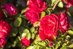 Arbusto hermoso de rosas rojas en un jardín de la primavera Rosas rojas Jardín floreciente Primavera Verano foto de archivo