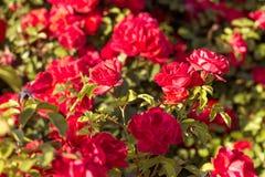 Arbusto hermoso de rosas rojas en un jardín de la primavera Rosas rojas Jardín floreciente Primavera Verano fotografía de archivo libre de regalías