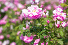 Arbusto hermoso de rosas rosadas en un jardín de la primavera Campo de Chrysanth El campo del té subió Rosaleda foto de archivo libre de regalías