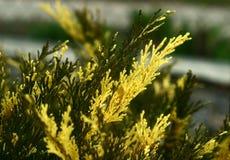 Arbusto inusualmente hermoso - enebro imagen de archivo