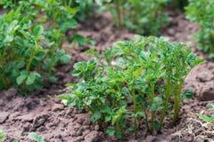 Arbusto joven de la patata en la tierra Imagen de archivo libre de regalías