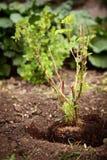 Arbusto joven de un fruticosus del Rubus en el suelo, cultivando un huerto y plantando foto de archivo libre de regalías