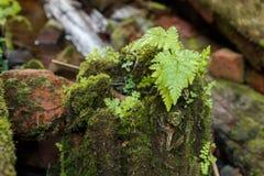 Arbusto joven del helecho en un tocón cubierto con el musgo Fotografía de archivo libre de regalías