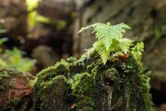 Arbusto joven del helecho en un tocón cubierto con el musgo Fotos de archivo libres de regalías