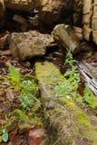 Arbusto joven del helecho en un tocón cubierto con el musgo Imagen de archivo libre de regalías