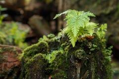 Arbusto joven del helecho en un tocón cubierto con el musgo Foto de archivo libre de regalías
