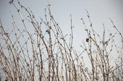 Arbusto Leafless da conversão Fotografia de Stock Royalty Free