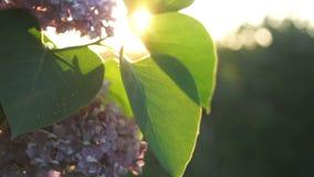 Arbusto lilás com flores e folhas filme